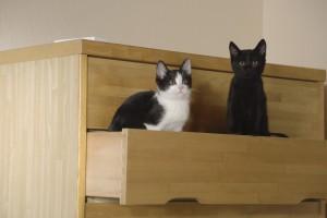 『猫なんかよんでもこない。』チン&クロ